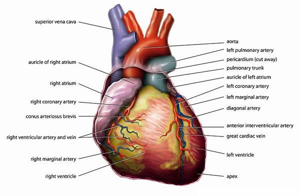 Urođene srčane mane