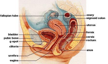 Urethra feminina