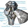 Fossa rhomboidea
