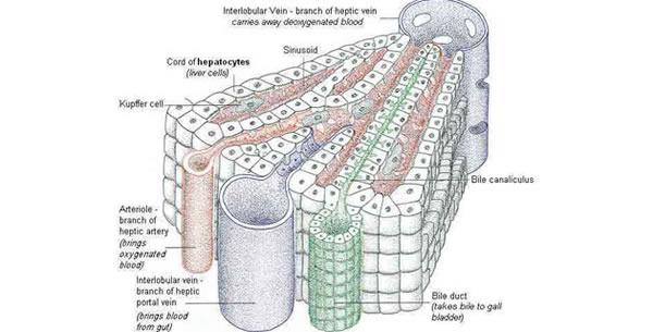 Metaboličke funkcije jetre