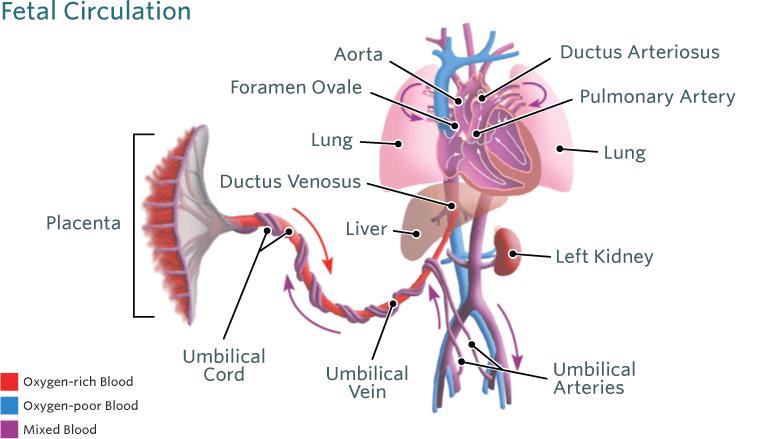 Fetalna cirkulacija