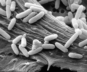 Liječenje – Escherichia coli
