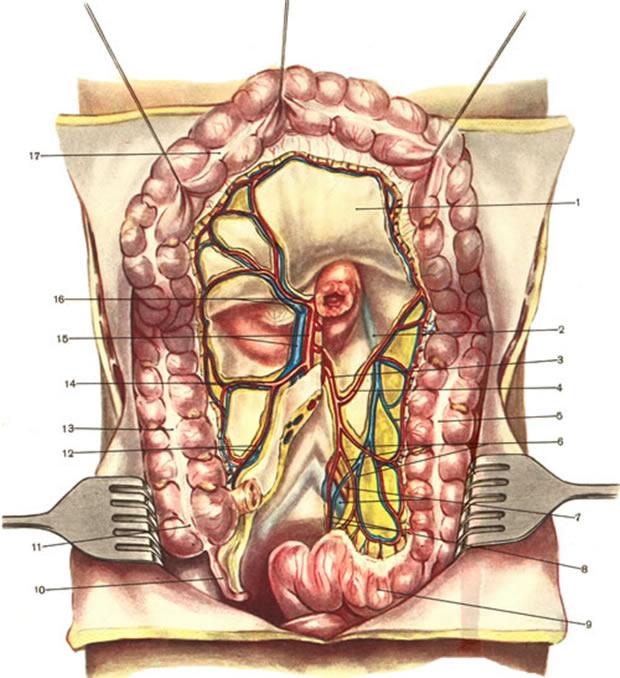 Colon sigmoideum
