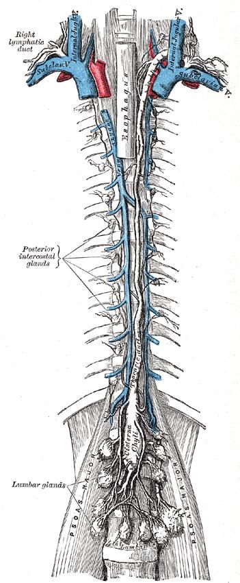 Ductus thoracicus