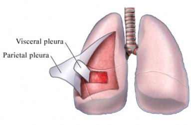 Pleura parietalis