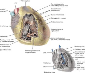 Ventriculus dexter