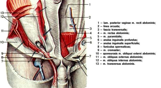Anatomija ingvinalnog kanala