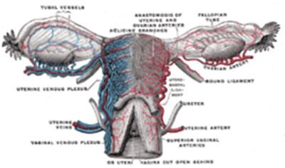 Uterus, tuba uterina