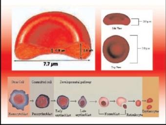 hemoliza Erc