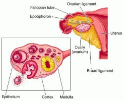Ovarium