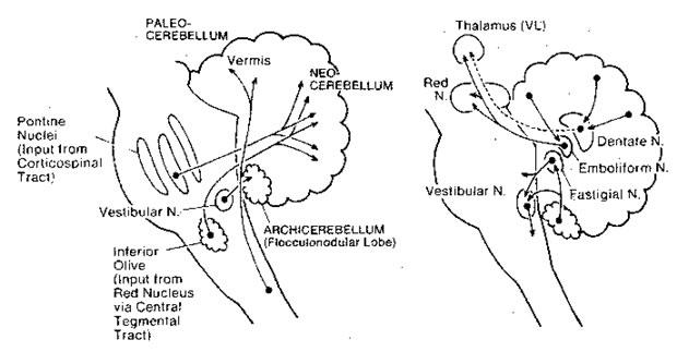 Archicerebellum