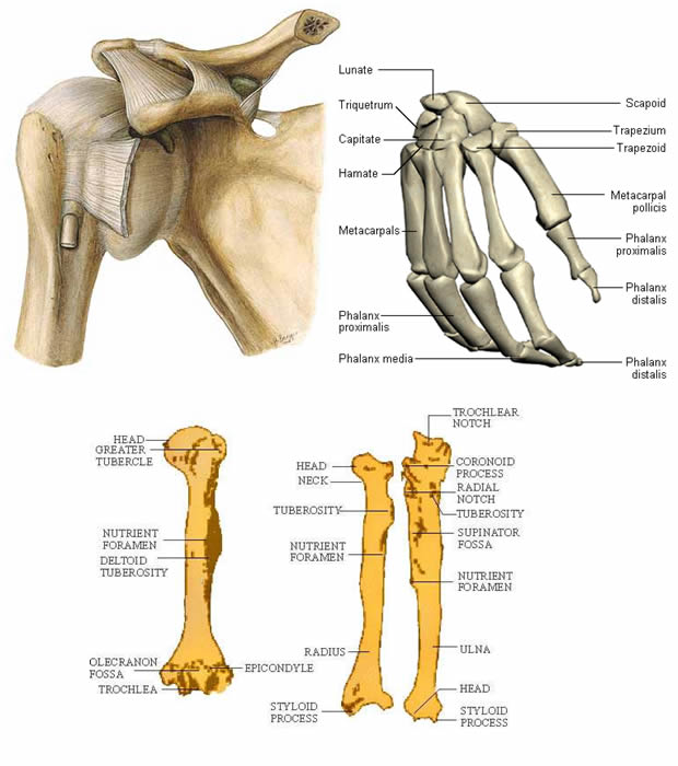 Extremitas proximalis