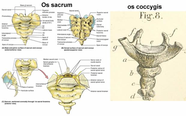 Os sacrum i os coccygis