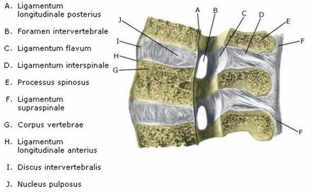 discus intervertebralis