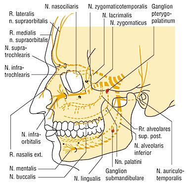 nervus trigeminus