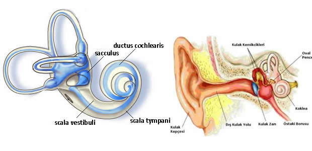 Ductus cochlearis