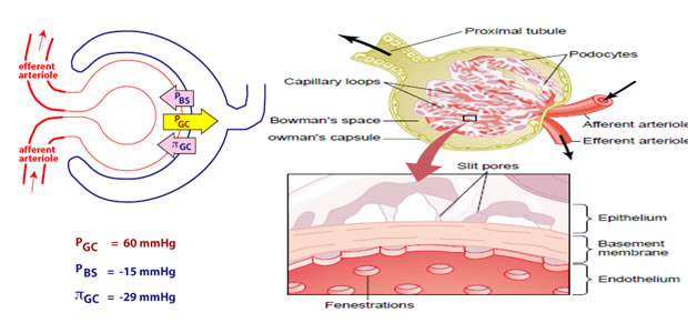 Glomerularna filtracija