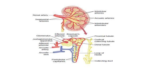 bubrežni krvotok