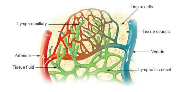 Limfni sistem