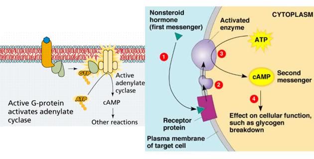 Mehanizam djelovanja hormona