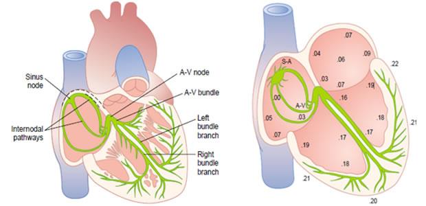 Sprovodni sistem srca