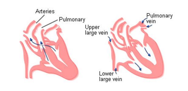 srčani ciklus