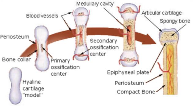 Razvoj kosti