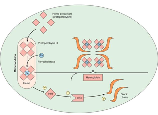 Stanice za sintezu steroidnih hormona