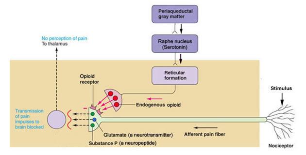 Endogeni opioidi