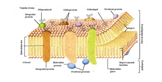 Građa ćelijske membrane