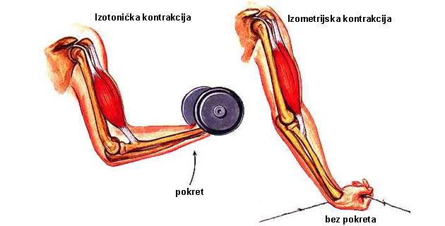 Izometrijska i izotonična mišićna kontrakcija