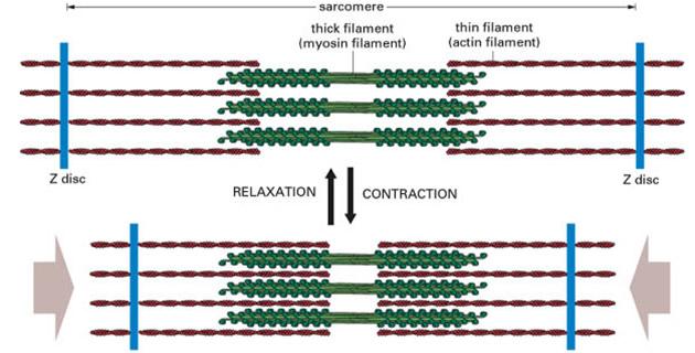Mehanizam mišićne kontrakcije