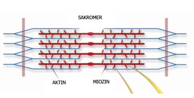 Mišićno vlakno