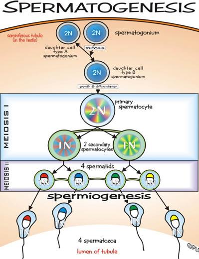 Spermatogeneza