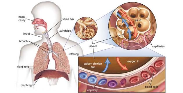 Alveolarna ventilacija