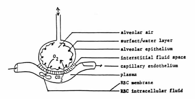 Difuzioni kapacitet
