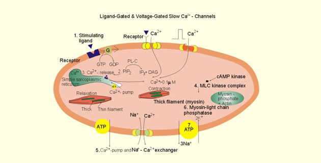Osnovni mehanizmi kontrakcije
