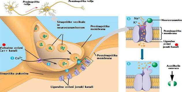 Neuromuskularni spoj