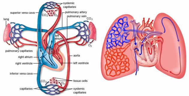 Plućna cirkulacija
