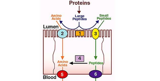Apsorpcija proteina