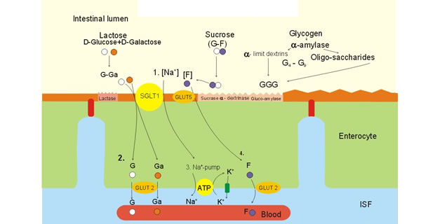 Apsorpcija ugljikohidrata