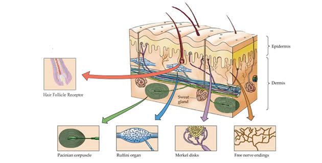 Mehanoreceptori