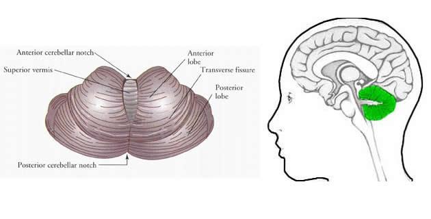 Mali mozak