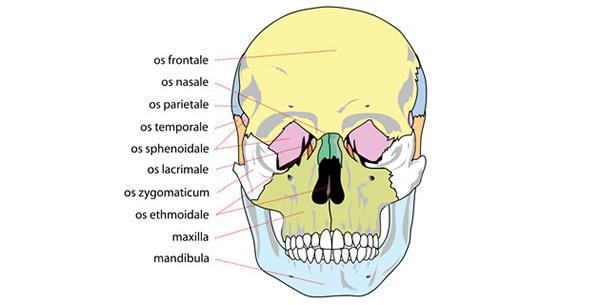Kosti lica