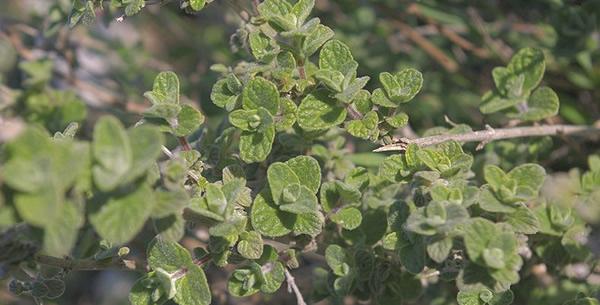 Origanum vulgare syriacum