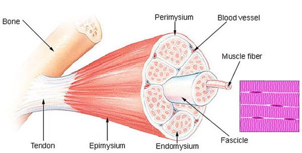 Skeletno mišićno tkivo