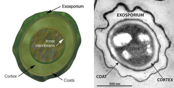 Bakterijske Spore