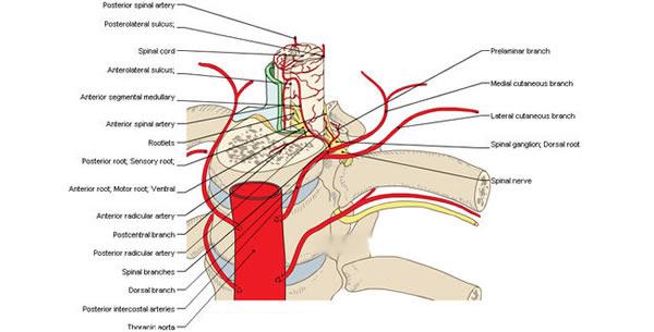 Arterija spinalis anterior