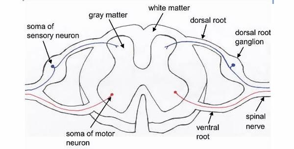 Dorzalni ganglion