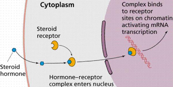 Hormonalni receptori